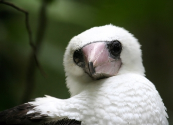 Abbotts Booby from Christmas Island